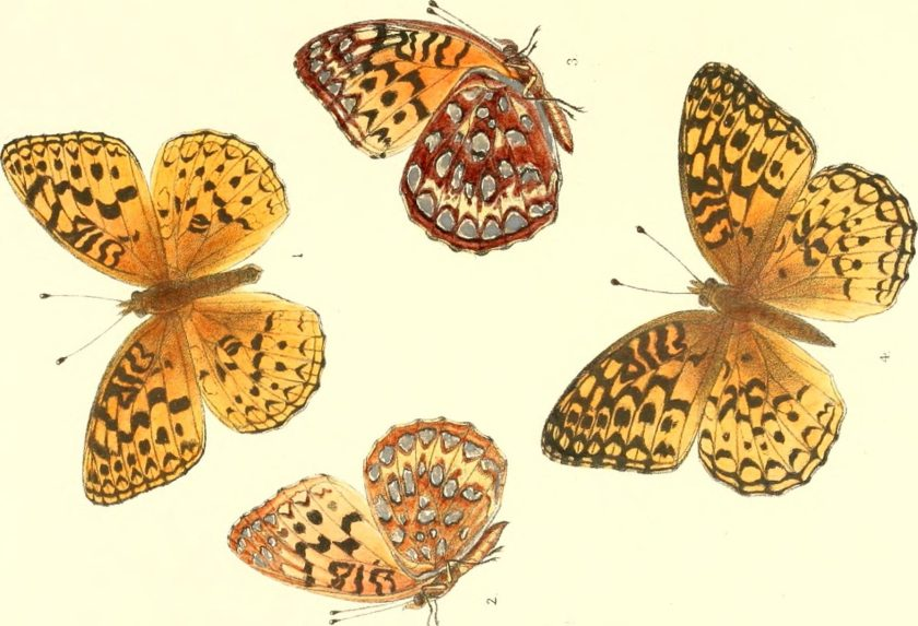 Synopsis of North American butterflies Year: 1879 (1870s) Authors: Edwards, William H. (William Henry), 1822-1909