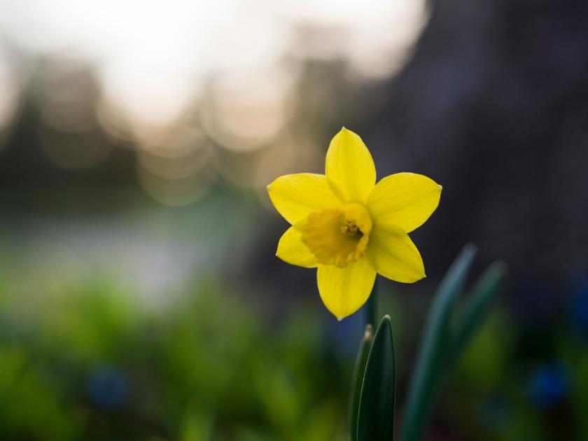 daffodil, yellow