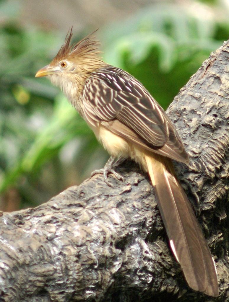 Cuira Cuckoo