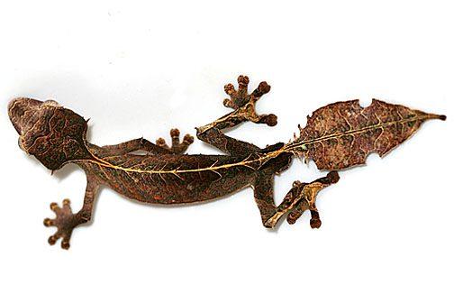 https://en.wikipedia.org/wiki/Uroplatus_phantasticus